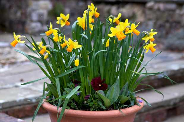 Daffodil spring pot display