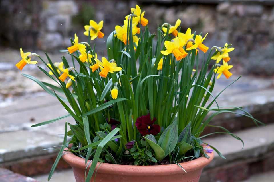 Daffodil spring pot display