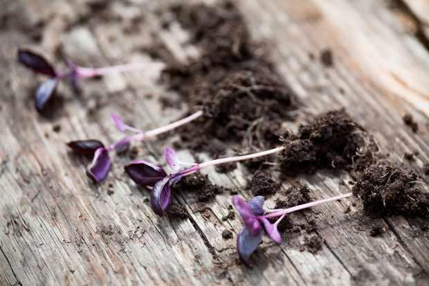 basil-plants-2