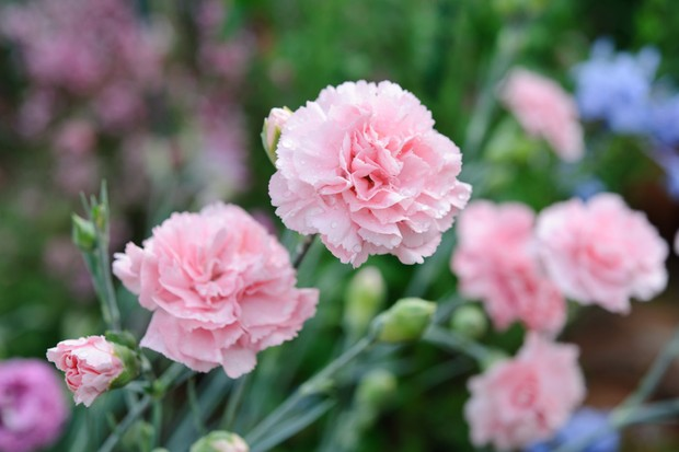 Silvery foliage and pale pink flowers of Dianthus (Allwoodii Group) 'Doris'