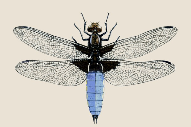 Illustration of a broad bodied chaser, with its powder-blue, short and broad abdomen