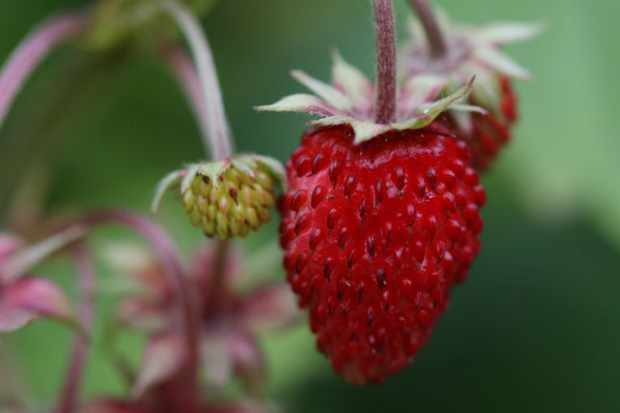 How to grow alpine strawberries