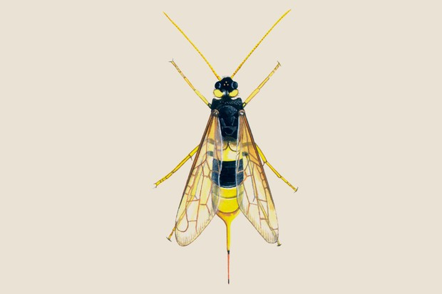 Illustration of the wood wasp or horntail, with its egg-laying spike at the tip of its abdomen