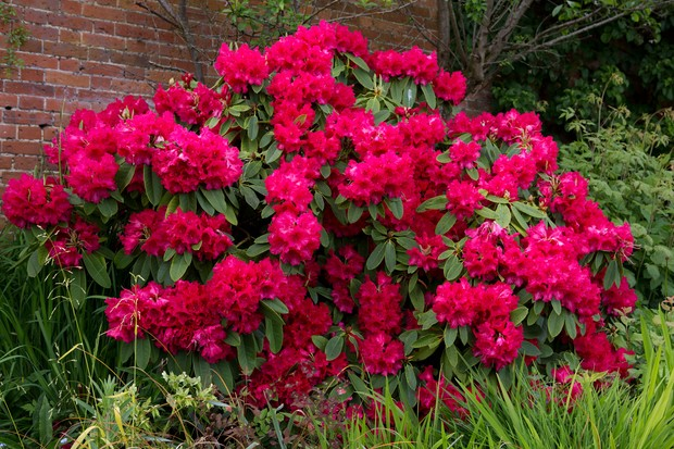 Masses of crimson blooms on a rhododendron