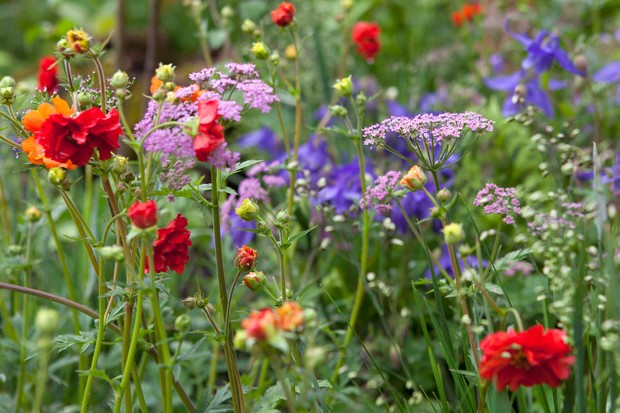 Pink pimpinella and bright red geum planted together with contrasting blue and yellow flowers