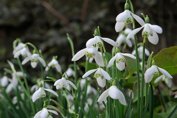 Best plants with white flowers gardenersworld snowdrops in flower 4 mightylinksfo