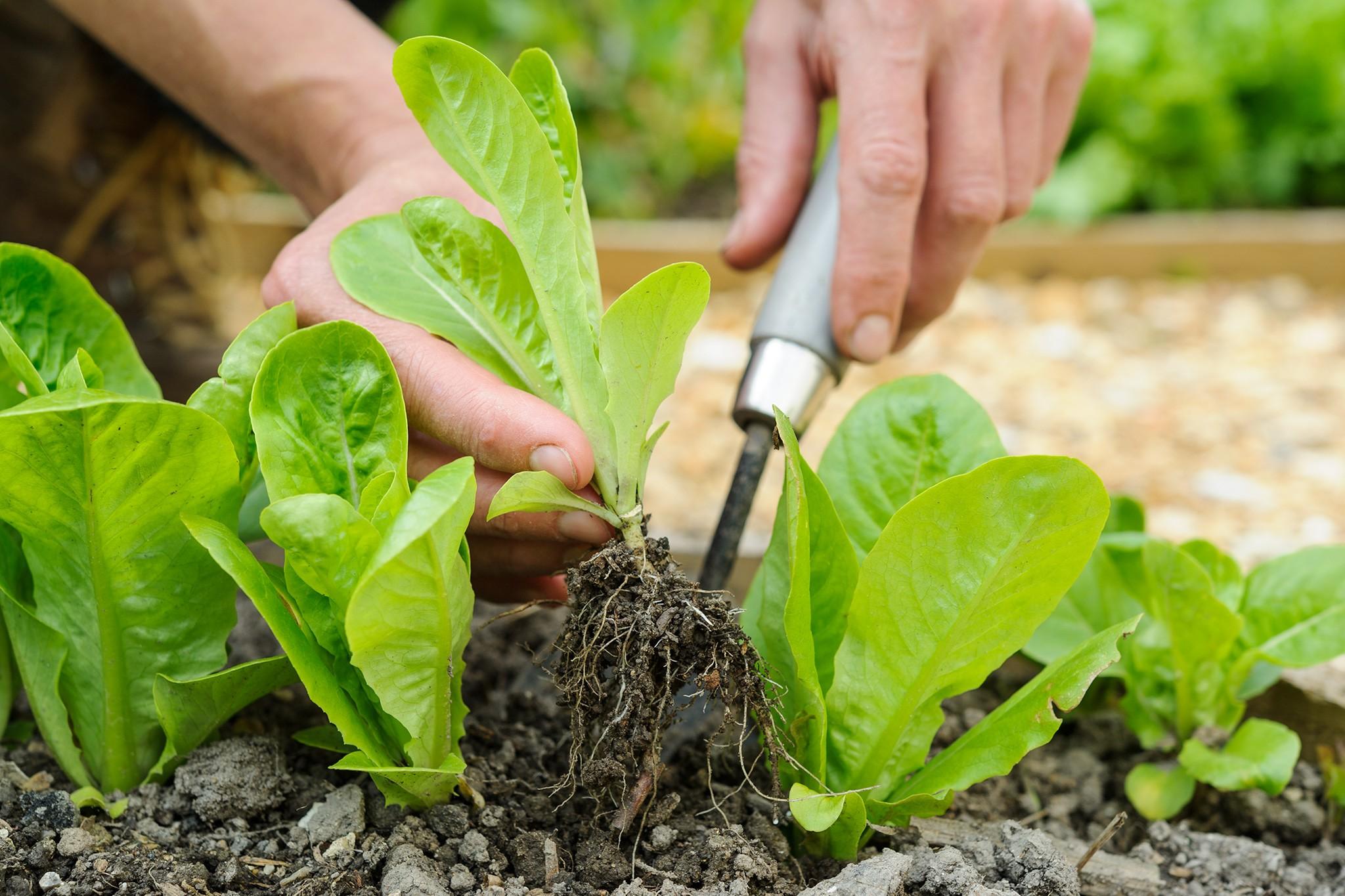 Harvesting lettuces