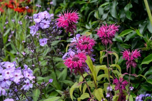Bright-pink, shaggy monarda flowers