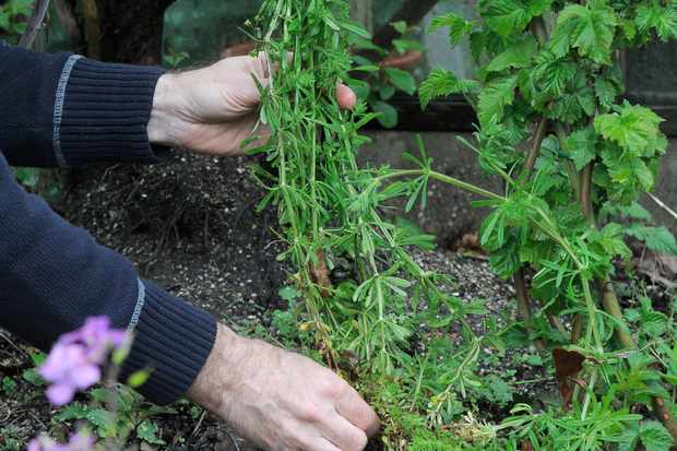 Gathering a clump of cleavers/stickyweed from a border