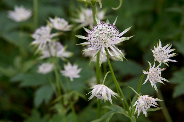 Purple-speckled white astrantia flowers