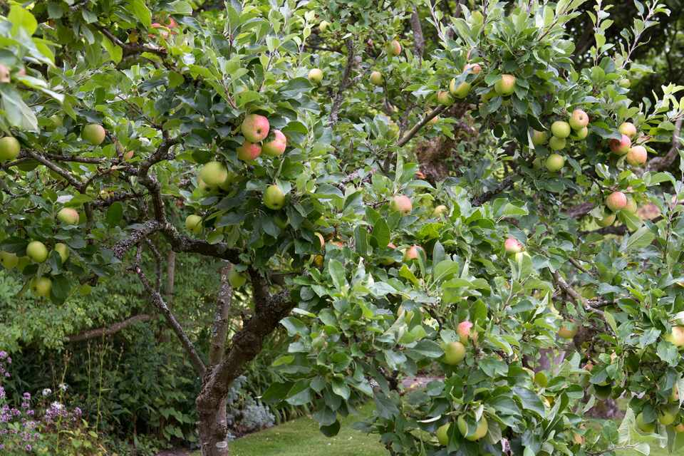 An apple tree laden with ripening fruit