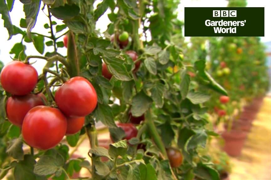 Three ways of growing tomatoes video