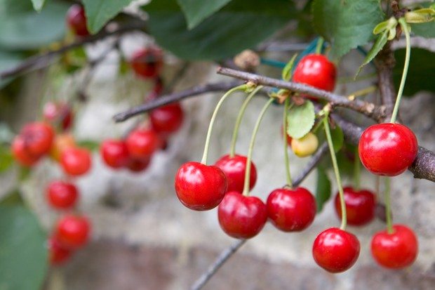 Red cherries ready to pick