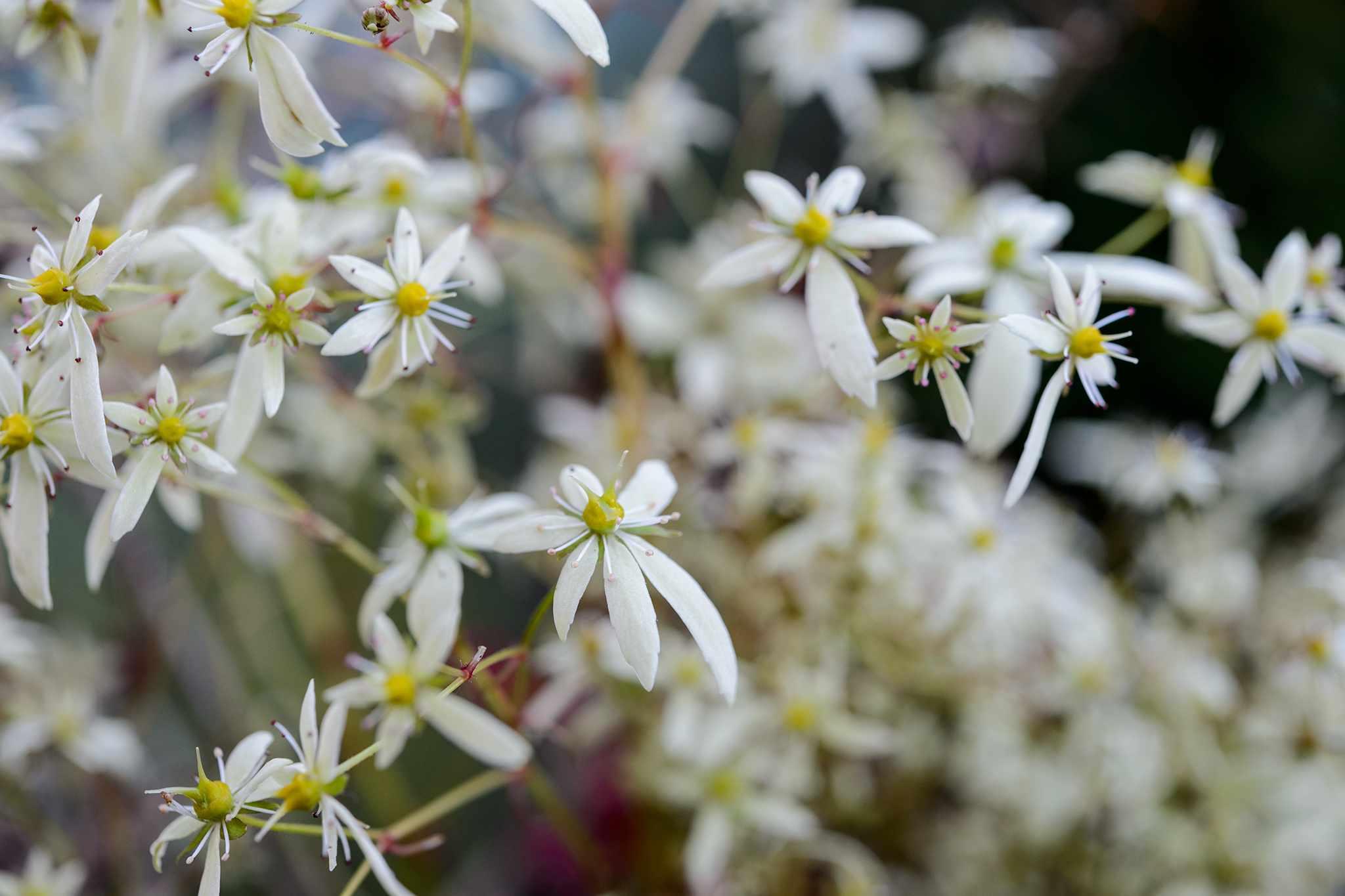 White flowers of Saxifraga fortunei