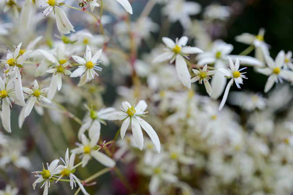 White flowers of Saxifraga fortunei