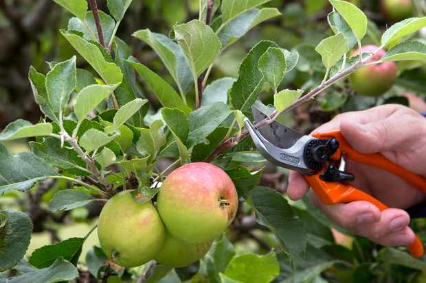allotment-jobs-in-august-pruning-trained-apples-and-pears-3