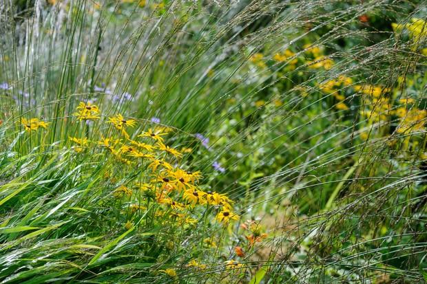 Golden rudbeckias amongst grasses