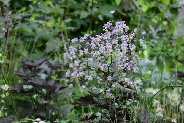 Light-purple, starry thalictrum flowers