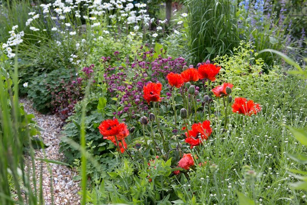 oriental-poppies-growing-in-a-mixed-border-2