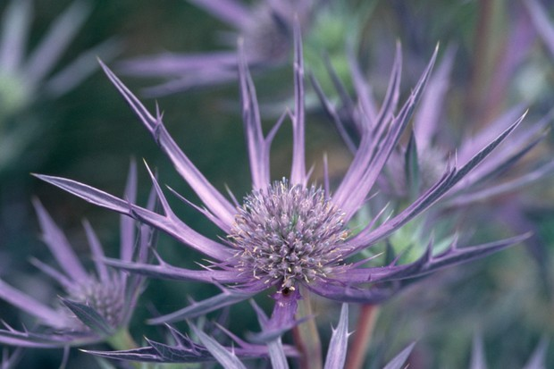 Spiky, blue thistle flowers