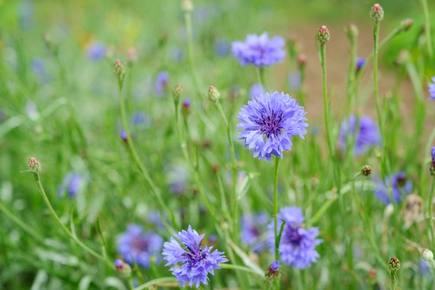 cornflower-centaurea-cyanus-4