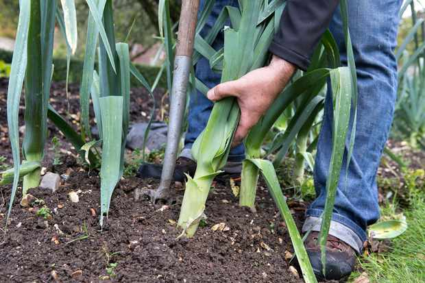 Harvesting a leek by gently lifting with a large garden fork