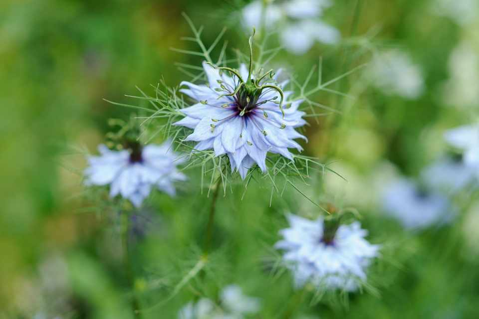 Flower Seeds to Sow in September - BBC Gardeners' World Magazine