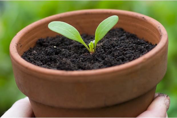 Morning glory seedling