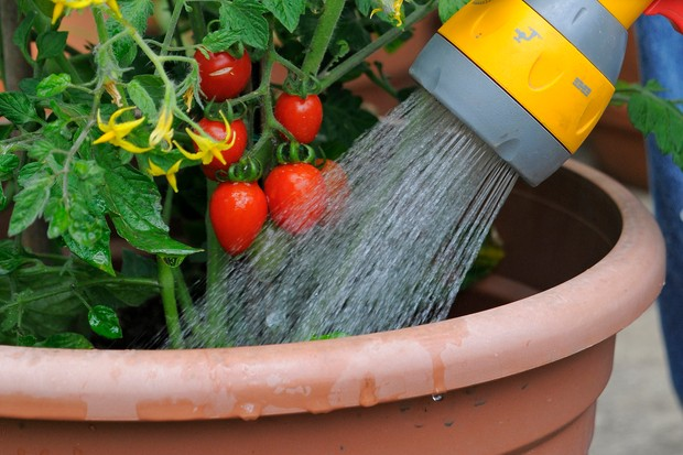 Pouring water from a can onto the base of tomato plants to keep the foliage dry