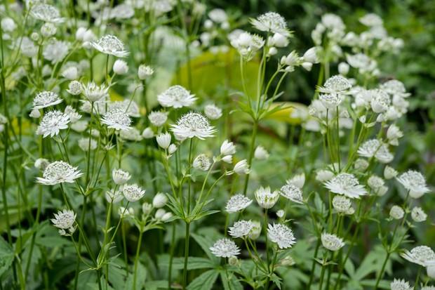 Pretty white astrantia flowers