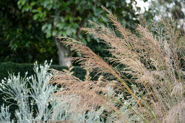 ornamental-grass-molinia-caerulea-subsp-arundinacea-transparent-3