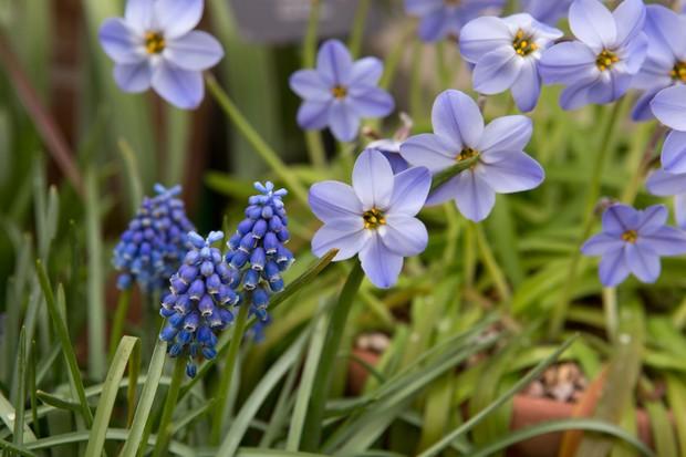 grape-hyacinth-and-ipheion-2