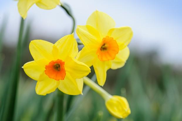 Narcissus 'Golden Dawn'