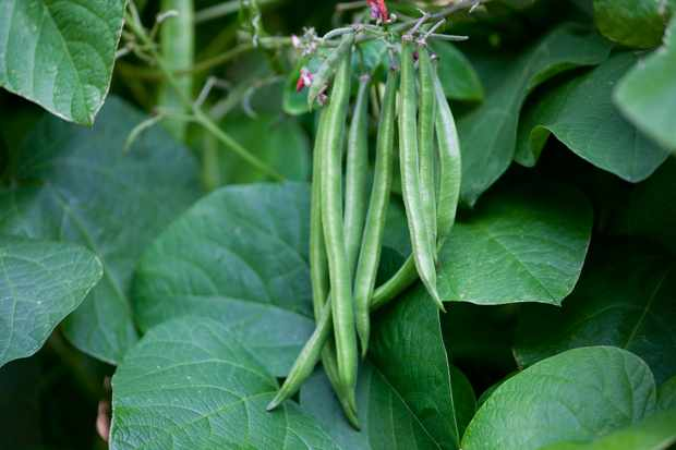 french-beans-ready-to-pick-2
