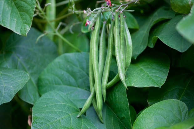A cluster of ripe French beans, ready to pick