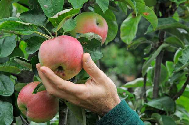 harvest-apples-in-september-2