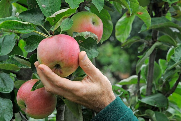 Twisting an apple on the tree to see whether it is ripe for picking