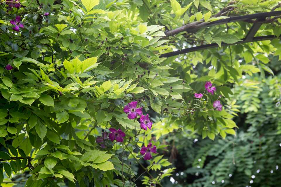 Wisteria foliage and magenta clematis flowers adorning an arch