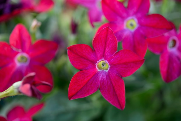 Nicotiana alata 'Domino Red'
