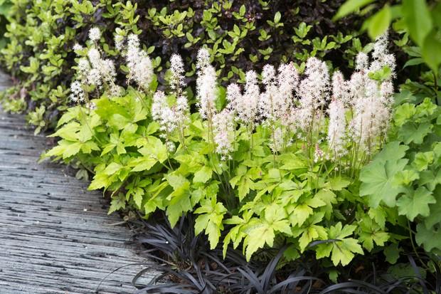 tiarella-cordifolia-var-collina-2