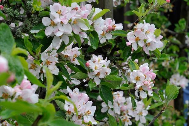 apple-tree-blossom-2