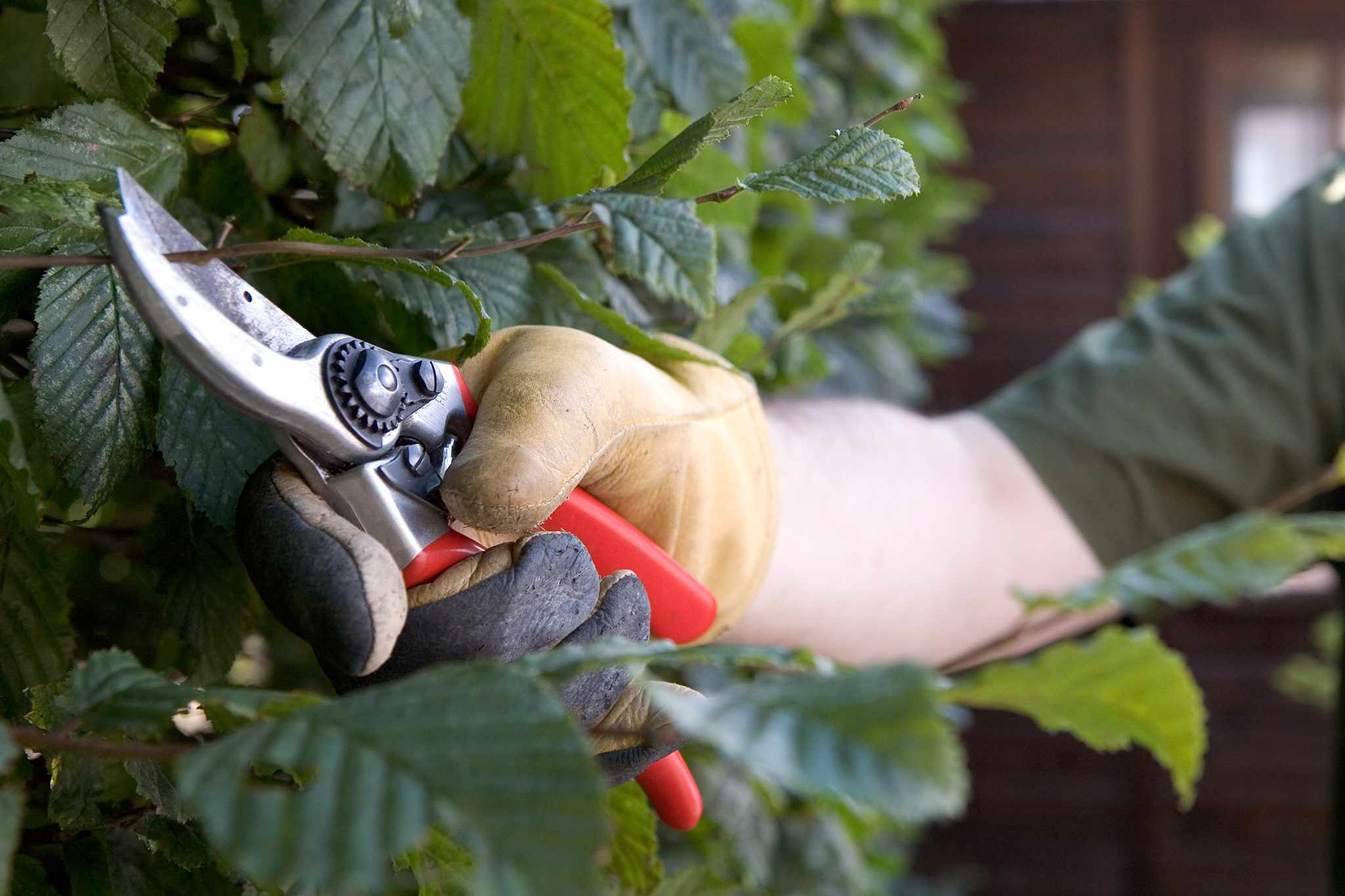 Tips for pruning a deciduous hedge
