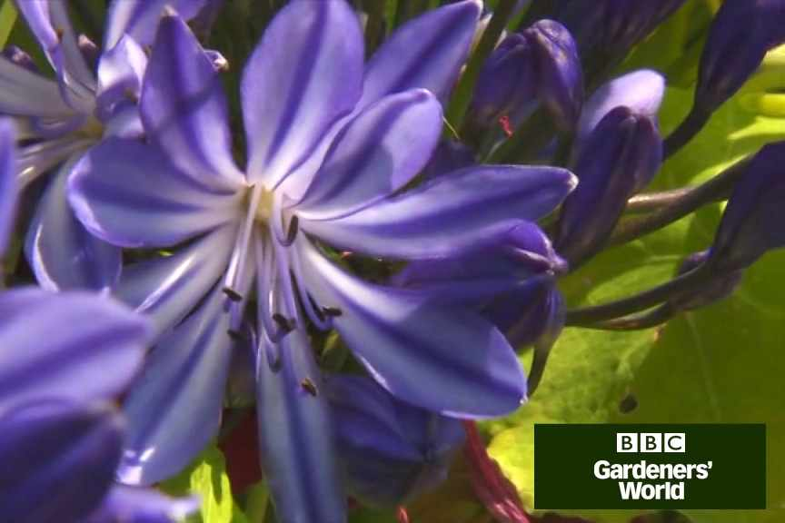 How to harden off agapanthus video