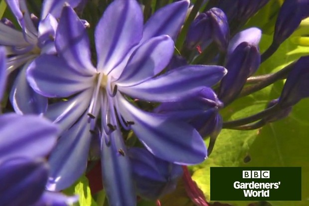 How to harden off agapanthus