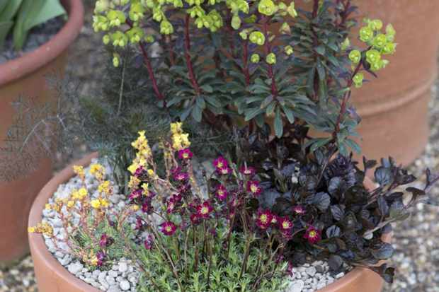 Fennel and euphorbia pot display