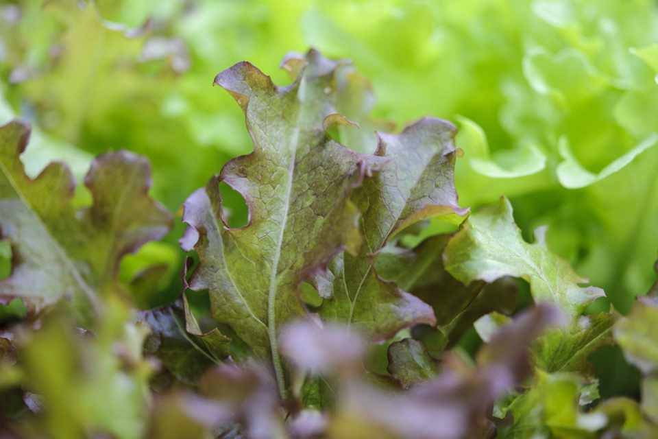 How to sow lettuce seeds successionally