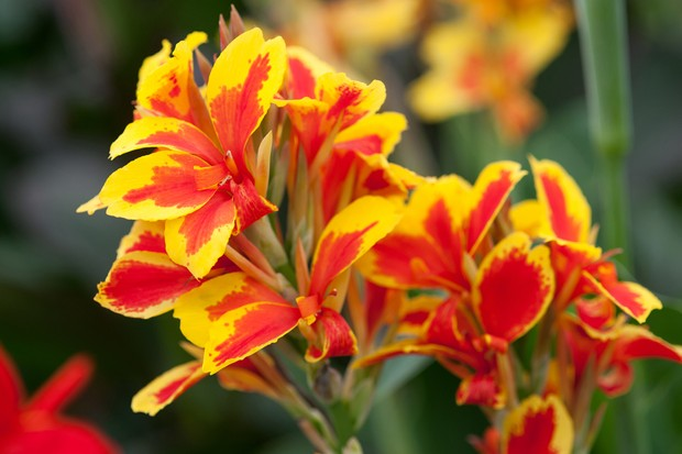 """Vivid red and orange 'Queen Charlotte"""" canna"""