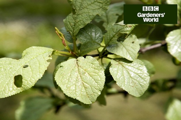 How to tackle silver leaf disease