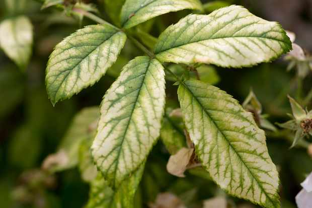 Magnesium deficiency apparent in leaves as yellow patches between the veins and around the leaf margins