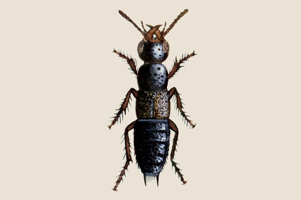 rove-beetle-2